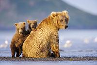 Lady Hook and her 2 spring cubs, Corona and BooBoo. Kodiak grizzly bear (Ursus arctos middendorffi), Hallo Bay