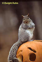 MA23-213z  Gray Squirrel - sitting on  carved Halloween pumpkin  - Sciurus carolinensis