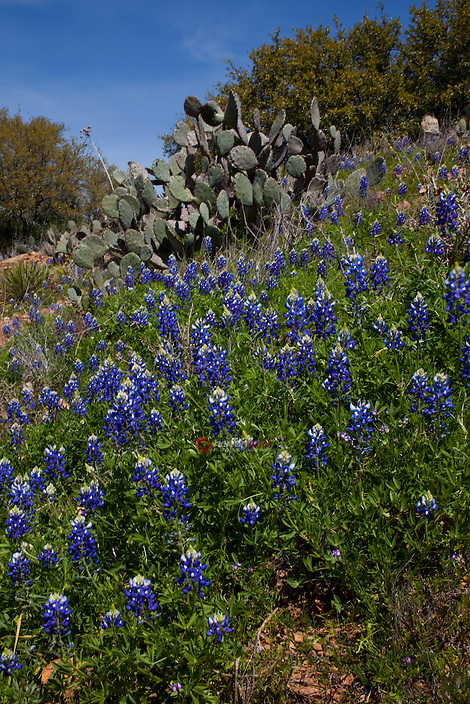Highway 71 Bluebonnets near Llanno, Texas prickly pear cactus granite live oak trees blue bloom spring growth