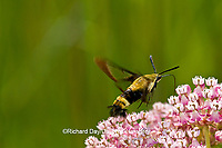 04005-00213 Snowberry Clearwing (Hemaris diffinis)  on Swamp Milkweed (Asclepias incarnata)  Marion Co.  IL