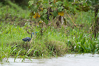 Tricolored Heron, Egretta tricolor, on the shore of the Tarcoles River, Costa Rica