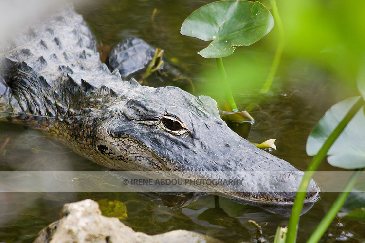 An alligator sunbathes at Shark Valley Visitor Center of the Everglades National Park in Florida.