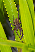 Fen Raft Spider - Dolomedes plantarius - unstriped adult female