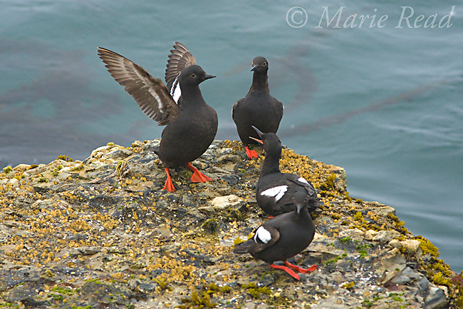 Pigeon Guillemots (Cepphus columba), group interacting on a rock, one with outspread wings, Santa Cruz, California, USA