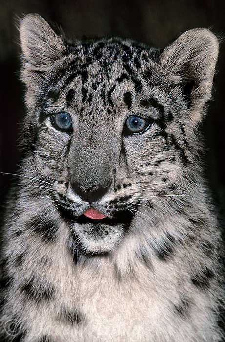 654409037 portrait of a three month old snow leopard panthera uncia - individual is a wildlife rescue - species is native to the high steppes of central asia