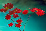 A delicate vine maple branch overhangs the Ohanapecosh River in Washington's Mount Rainier National Park.
