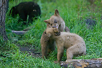 Pair of Cinnamon Black Bear cubs wrestling