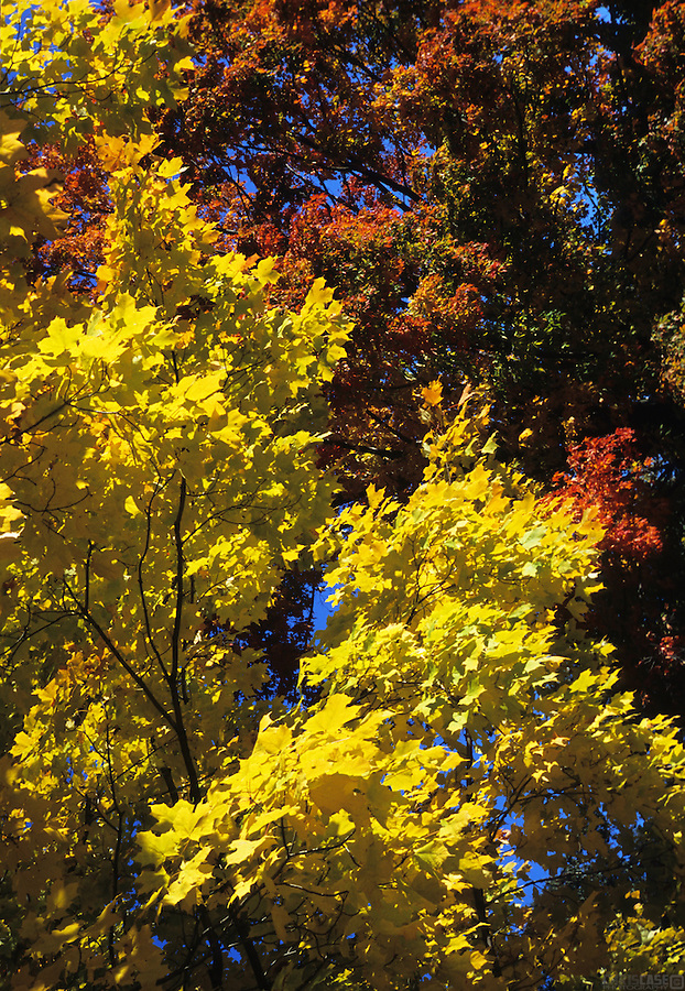 Yellows, reds, and maroons mingle in the leafy Maple trees of a Vermont autumn.