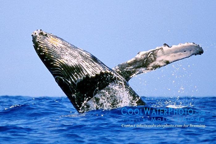 humpback whale calf breaching, .Megaptera novaeangliae, .Hawaii (Pacific).
