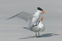 Royal Terns (Sterna maxima) mating