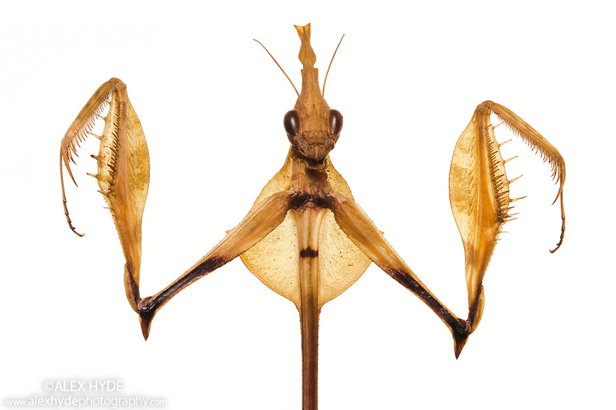 Violin Mantis {Gongylus gongylodes}. Museum specimen originating from India & Sri Lanka. website