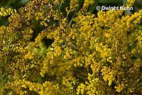 AM01-517z  Ambush Bug camouflaged on goldenrod, Phymata americana