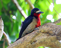 Male Puerto Rican woodpecker