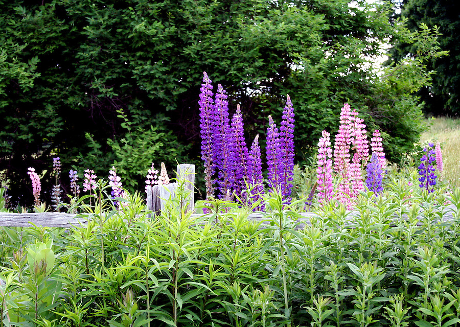 Purple and pink lupine grow near wooden fence with leaves