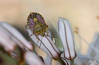Fruchtwanze, Baumwanze, Carpocoris pudicus, Shield bug, Pentatomidae