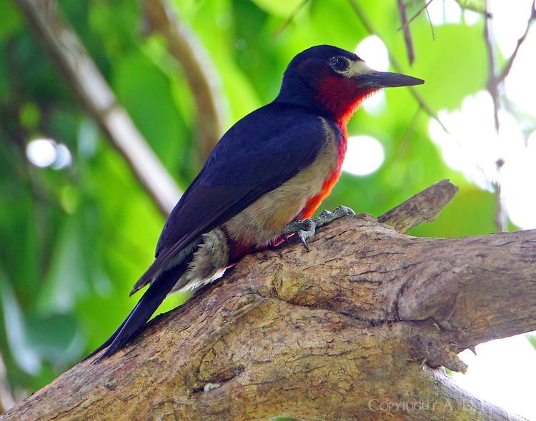 Male Puerto Rican woodpecker
