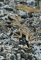 437880018 a wild juvenile long-nosed leopard lizard gambelia wislizenii sits on a rocky outcrop along fish slough road in mono county california