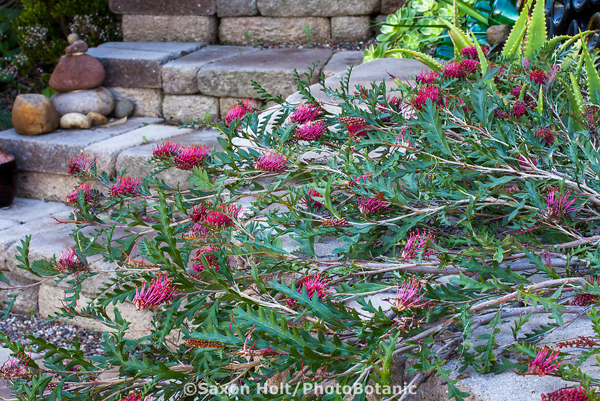 Grevillea 'Fanfare' aka. 'Austraflora Fanfare' cascading over stone wall, Jim Bishop and Scott Borden garden