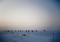 Cows line a field in morning mist and snow during a hunting trip near Grand Island, Nebraska, Sunday, December 4, 2011. Hunting duck and White Tail deer is common in the area...Photo by Matt Nager