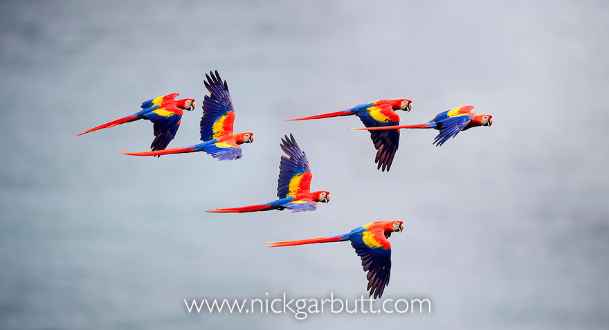 Scarlet Macaws (Ara macao) in flight over the sea (Golfo Dulce). Osa Peninsula (near Corcovado National Park), Costa Rica, Central America.