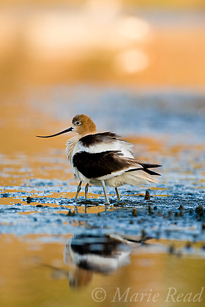 American Avocet (Recurvirostra americana), adult brooding chick, Orange County, California, USA