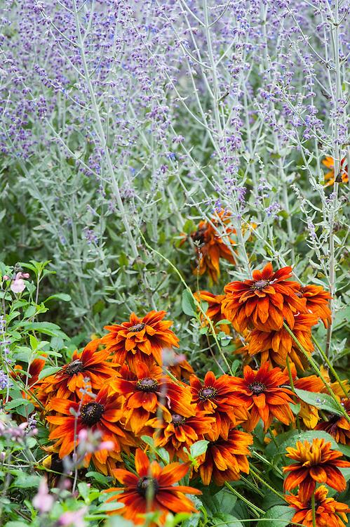 Rudbeckia hirta 'Cherokee Sunset' and Perovskia 'Blue Spire', early September.