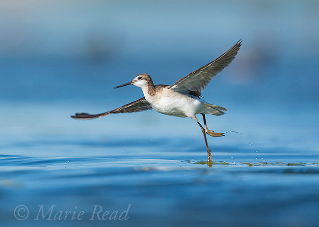 Wilson's Phalarope (Phalaropus tricolor), adult male taking flight from water's surface where it has been foraging for insects attached to submerged vegetation, Bowdoin National Wildlife Refuge, Montana, USA
