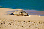 A Hawaiian Monk Seal on the beach at Ka'anapali, Maui looks at a red bull can that washed up on shore.