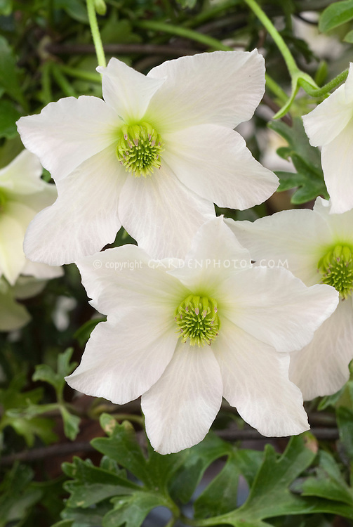 Clematis 'Early Sensation' (Fo/f) white
