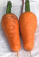 Carrot 'Royal Chanteray' harvested root vegetable crop on white background