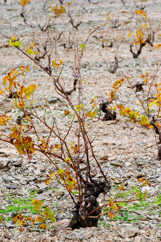Chateau des Erles. In Villeneuve-les-Corbieres. Fitou. Languedoc. Vines trained in Gobelet pruning. Vine leaves. Old, gnarled and twisting vine. France. Europe. Vineyard.