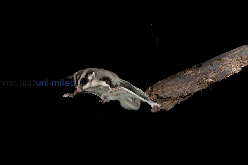 Sugar Glider (Petaurus breviceps) leaping off a tree limb, Australia. Captive