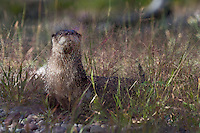 River Otter standing in the grass near a pond - CA