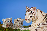 white tiger, a pigmentation variant of the Bengal tiger, Panthera tigris tigris, endangered species, mother and cubs, India, Asia