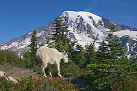 Mountain Goat (Oreamnos americanus).  Mount Rainier National Park, Washington.  Summer