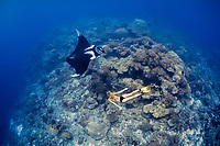 A freediver swims with a giant oceanic manta ray, Manta birostris, on a reef pinnacle that rises from deep water. Raja Ampat, Papua, Indonesia, Pacific Ocean