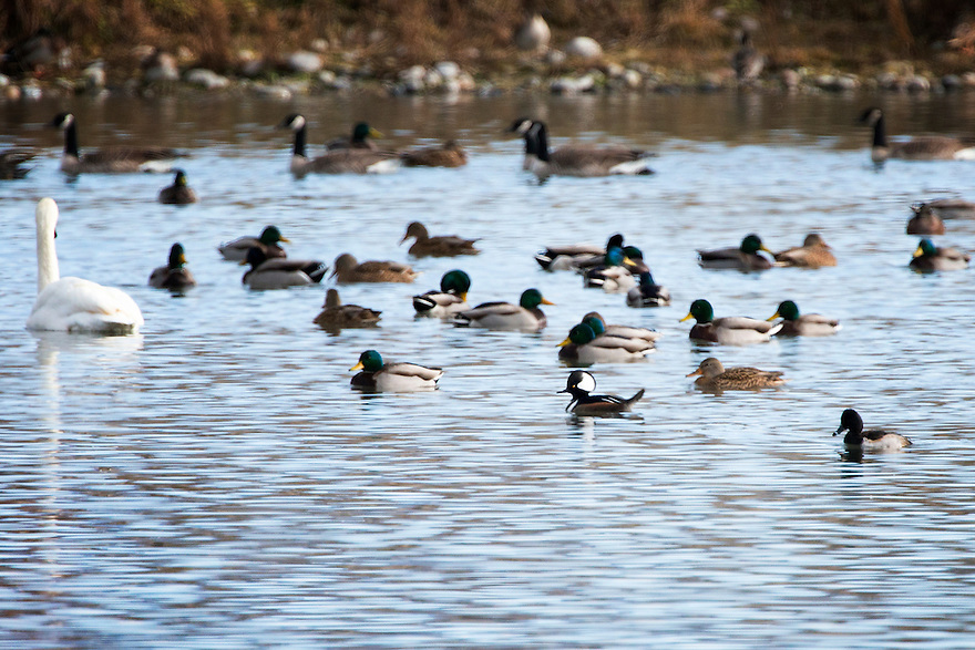 A hooded merganser swims with other ducks, geese and swans at Central Park Pond in Gallatin County, Montana.