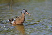 575100017 a wild adult virginia rail railus limicola forages in a shallow pond near the pacific ocean in ventura county california united states