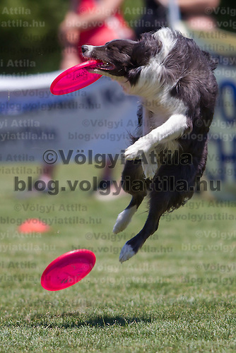 Dog catches a frisbee during the Flydogs Extreme Distance Frisbee European Championships held in  Budapest, Hungary. Saturday, 16. June 2012. ATTILA VOLGYI