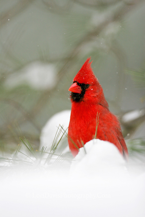 Male Cardinal in Snow #B6