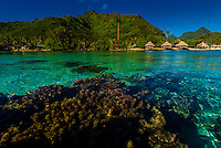 Coral in the lagoon inside the reef, Hilton Moorea Lagoon Resort, island of Moorea, French Polynesia.