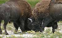 American bison butt heads. This was the first photo I ever licensed, for the Tekakwitha Woods Forest Preserve in Illinois.