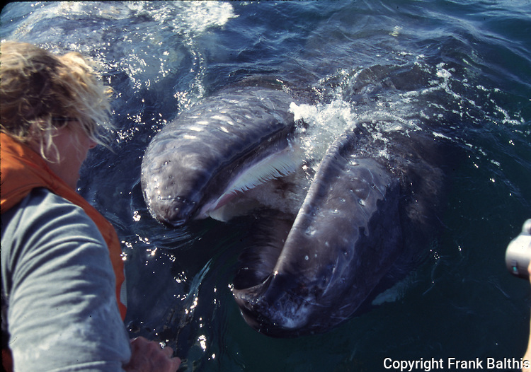Chris Shields and gray whale calf with baleen showing
