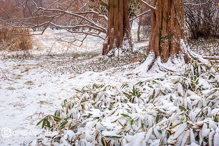 Snowy Dawn Redwoods at the Arnold Arboretum in the Jamaica Plain neighborhood, Boston, Massachusetts, USA
