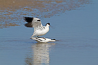 Avocet Recurvirostra avosetta - Mating pair. L 43cm. Elegant wader with distinctive black and white plumage. Feeds by sweeping diagnostic, upcurved bill from side-to-side through water. Gregarious outside breeding season. Sexes are similar. Adult has mainly white plumage with black on crown, nape and wings. Legs are blue and bill is black. Juvenile is similar but black elements of plumage are dark brown. Voice Utters a ringing klueet-klueet… call. Status Favours shallow, coastal brackish lagoons in breeding season. In winter, found on estuaries, mainly in SW England.