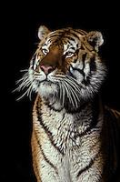 Bengal Tiger; Pantherra tigris; zoo