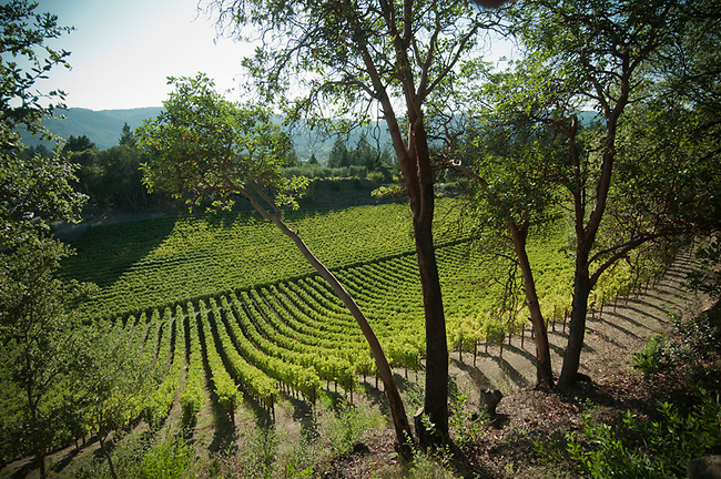 Napa Valley vineyard near St. Helena