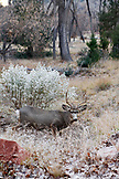 USA, Utah, Springdale, Zion National Park, a buck feeds on grass in the late afternoon, The Grotto