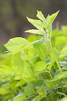 Gewöhnlicher Giersch, Geißfuß, junge, zarte Blätter im Frühjahr vor der Blüte, Aegopodium podagraria, Bishop´s Weed, Ground Elder, Aegopode