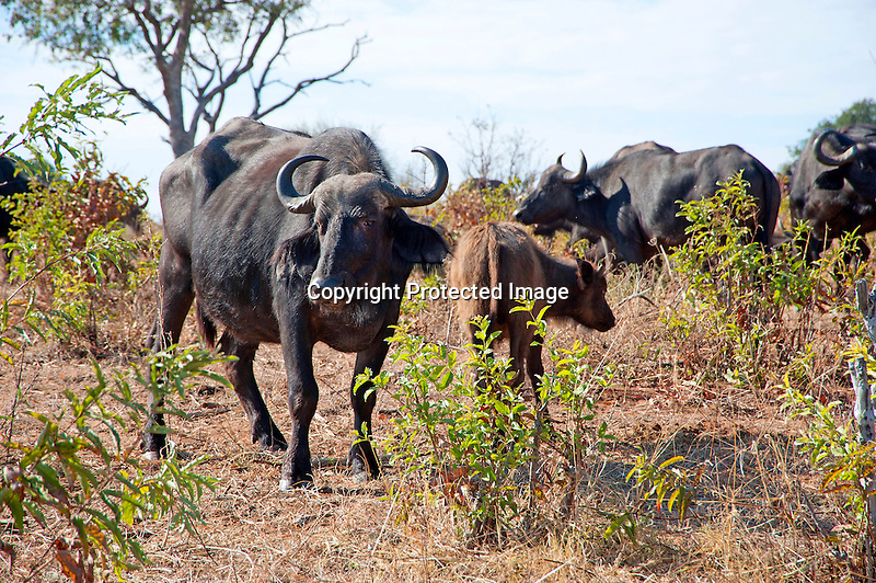 Cape Buffalo and Baby Grazing in Chobe National Park in Botswana, Africa